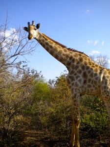 Giraffe at Zambesi Sun Hotel