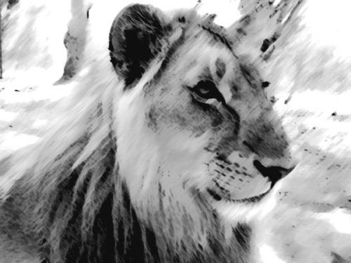 Zambia: Lion