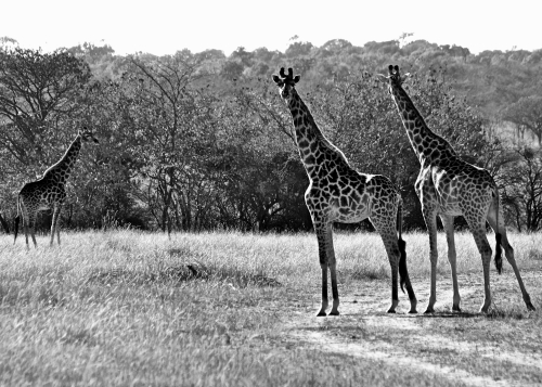 Giraffes from Mike Boon's South African Game Reserve