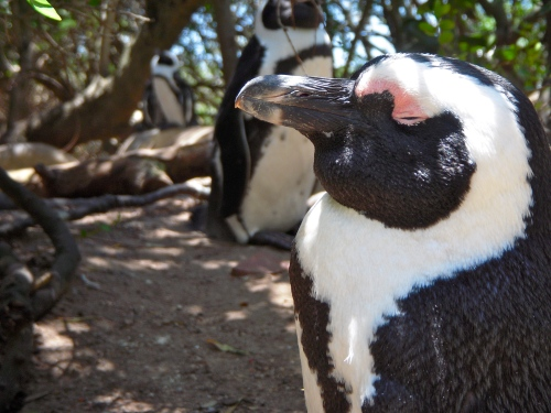 Penguins: Simon Town