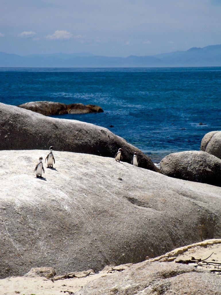 Penguins: Simon Town