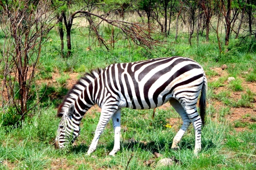 Zebra: South Africa Pilanesberg Game Reserve