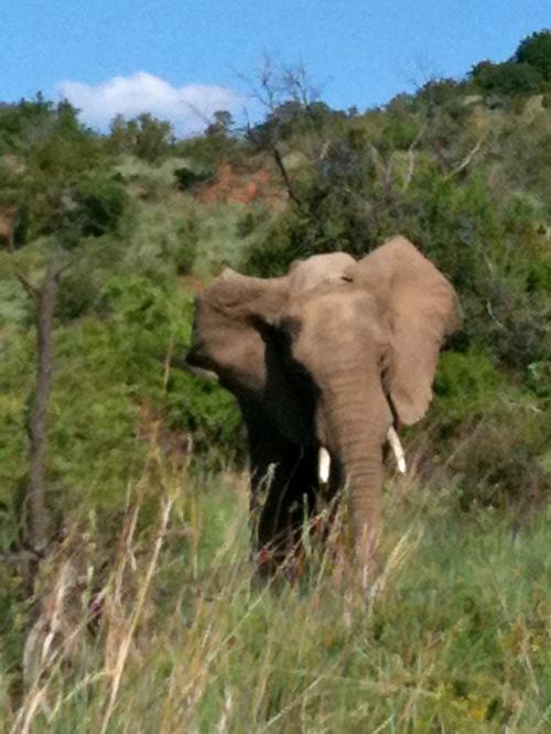 Charging Elephant: Pilanesberg Game Reserve