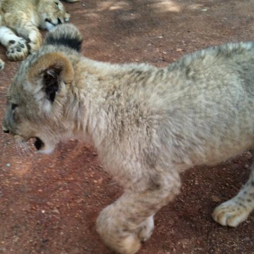 Lion Park Cubs