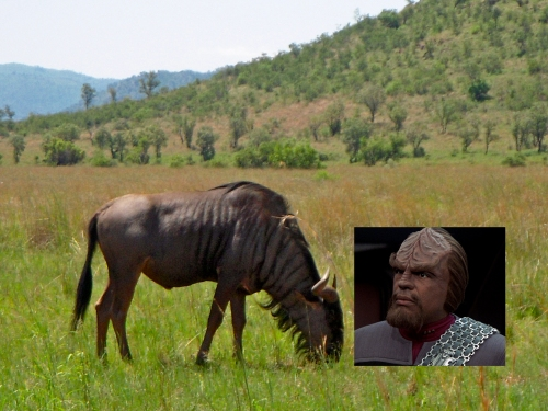 Wildebeest Looks Like Worf