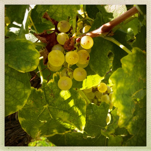 Viognier Grapes at Square Hill. Image: Beth Beck 2018