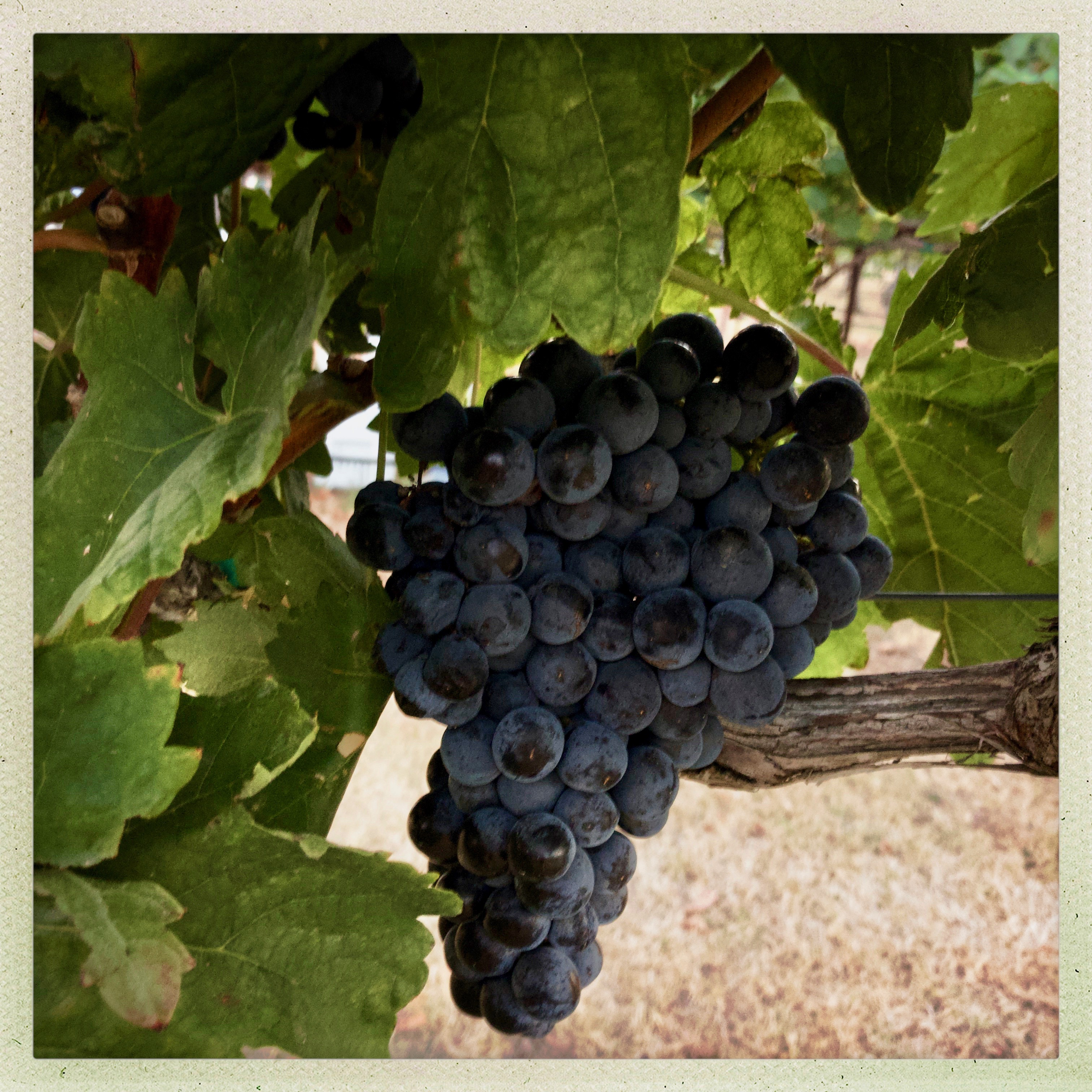 Tempranillo Grape Cluster at Eden Hill Vineyard. Image: Beth Beck 2018